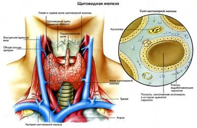 Симптоми і лікування захворювання щитовидної залози » журнал здоров'я iHealth 2