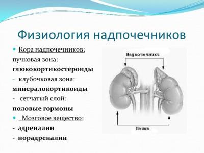 Функции надпочечников в организме человека