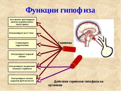 Разновидности железы